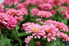 Fleurs élégantes de beau zinnia rose sur des feuilles de vert et des fleurs merveilleuses de tache floue Photos libres de droits