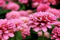 Fleurs élégantes de beau zinnia rose sur des feuilles de vert et des fleurs merveilleuses de tache floue Photos stock