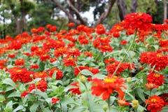 Fleurs élégantes de beau zinnia rouge sur des feuilles de vert et des fleurs merveilleuses de tache floue Photo stock