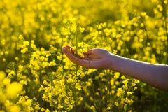 Fleurs émouvantes de viol de mains femelles contact avec la nature, main femelle image libre de droits