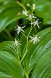 Fleurs étoilées de ressort Photo libre de droits
