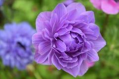 Fleurs étonnantes au parc local à Chester Photographie stock libre de droits