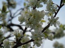Fleurs étonnantes de ressort de la campagne Photos stock