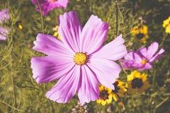 Fleurs 1 étroit de Cosmea Photo libre de droits