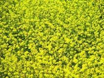 Fleurs 5 de jaune Image libre de droits