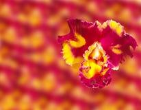 Fleurs abstraites d'orchidée de ressort étroites sur le fond de fleur de tache floue Ceci a le chemin de coupure Images libres de droits