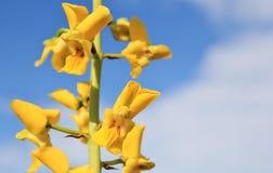 Fleurs africaines sauvages - orchidée au sol d'or Images libres de droits