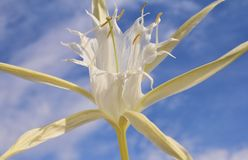 Fleurs africaines sauvages - pluie Lilly Image stock