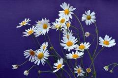 Fleurs allemandes de camomille - chamomilla de Matricaria Photographie stock libre de droits