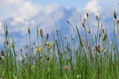 Fleurs alpestres image libre de droits