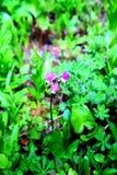 Fleurs alpestres Photographie stock