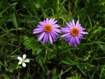 Fleurs alpestres----Glacier de GongGa photos stock