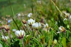 Fleurs alpines blanches en gros plan Images libres de droits