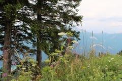 Fleurs alpines et arbres coniféres sur le fond des montagnes Photo libre de droits