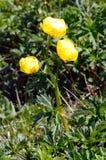 Fleurs alpines : Globeflower (europaeus de Trollius) Images libres de droits
