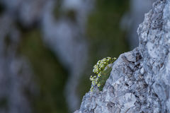 Fleurs alpines sur la roche Image stock