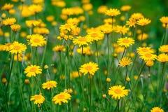 Fleurs amomile de ¡ de Ð Photos libres de droits