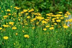 Fleurs amomile de ¡ de Ð Image stock