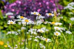 Fleurs amomile de ¡ de Ð Images stock