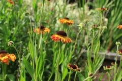 Fleurs anglaises de jardin de pays image libre de droits