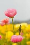 Fleurs asiatiques de Ranunculus Images stock