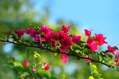 Fleurs asiatiques, fond d'herbe trouble, bouganvillée blanche Glab Images libres de droits