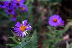 Fleurs assez pourpres et blanches d'aster Photo stock
