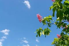 Fleurs assez roses d'un marron d'Inde Image stock