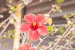 Fleurs assez rouges de nature de ressort en parc Image libre de droits