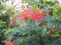 Fleurs assez tropicales en San Isidro, ville de Lipa, Philippines photographie stock libre de droits