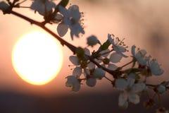 Fleurs au-dessus de coucher du soleil Photos libres de droits