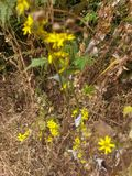 Fleurs au jardin de Mahabaleshwar Mapro photos stock