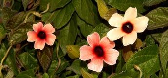 Fleurs aux yeux noirs de Susan de noir et de rose Photo stock