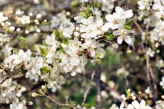 Fleurs avec l'abeille - printemps Photos libres de droits