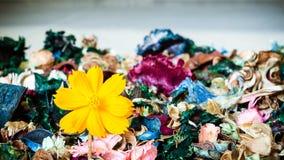Fleurs - baisse jaune de fleur de Cosmo sur les fleurs sèches Image stock