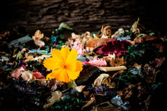 Fleurs - baisse jaune de fleur de cosmos sur les fleurs sèches Photos stock