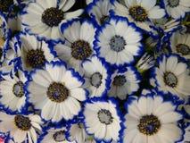 Fleurs bicolores de cinéraire bleues et blanches Image stock
