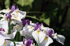 fleurs Blanc-pourprées d'iris Photo libre de droits