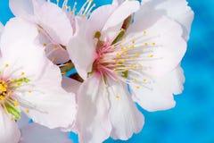 Fleurs blanc rose d'arbre d'amande tirées en Chypre Images libres de droits