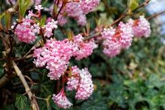 Fleurs blanc-roses de Viburnum parfum? dans le jardin photos stock