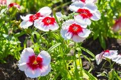 fleurs blanc rouge de pétunia sur un parterre photo libre de droits