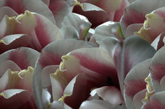fleurs Blanc-rouges de tulipes Macro closeup Fond de fleur Pour la conception Composition de fleur illustration libre de droits
