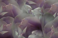 fleurs Blanc-violet-roses de tulipes Macro closeup Fond de fleur Pour la conception Composition de fleur illustration de vecteur
