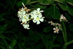 Fleurs blanches à l'arrière-plan vert Images stock