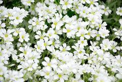 Fleurs blanches Photo stock