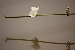 Fleurs blanches Images libres de droits