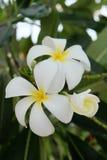 Fleurs blanches photo libre de droits