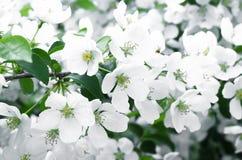 Fleurs blanches Photos libres de droits