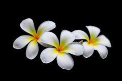 Fleurs blanches après la pluie Photo stock