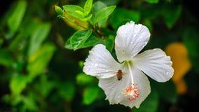 Fleurs blanches après la pluie Photographie stock libre de droits
